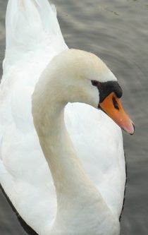 ein weißer Schwan