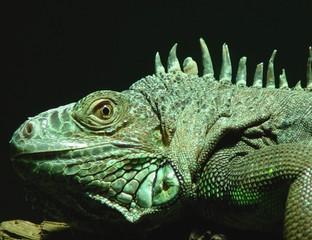 Ein Reptil in Nahaufnahme.