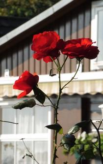 Drei Rosenblüten an einem Zweig.