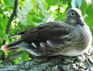 Eine dicke Ente hockt auf einem Ast im Grünen.