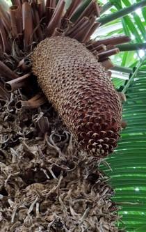 Ein großer, langer Zapfen hängt an einer Palme.