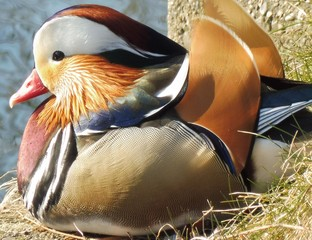 Eine Ente mit sehr buntem Gefieder hockt im Gras.