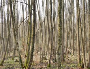 Ein Erlenwald.