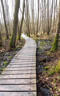 Ein Weg aus Holzplanken führt durch einen Erlenwald.