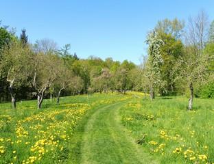 Eine Streuobstwiese im Frühling.